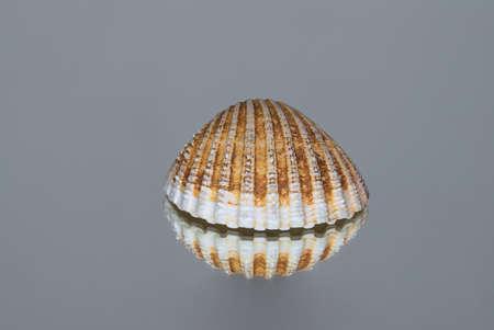 Levitating-like seashell. Isolated seashell on gray reflective background