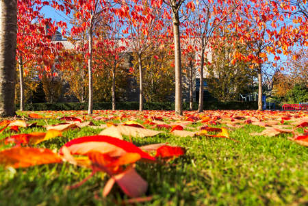 Amazing autumn cover of orange and red fallen leaves covering on grass. Background focus. Golden fall on university campus, Dublin, Ireland 免版税图像