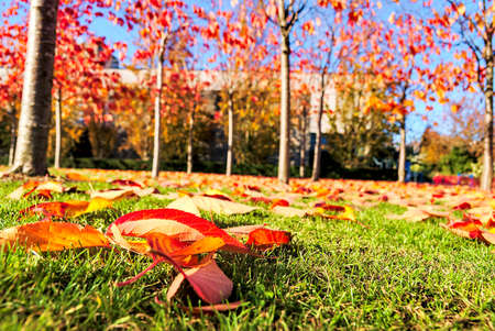 Wonderful autumn covering of orange and red fallen leaves on grass. Foreground focus. Golden fall on university campus, Dublin, Ireland