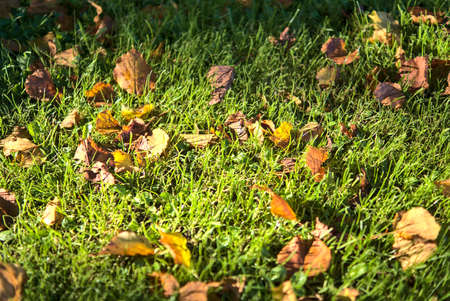 Beautiful autumnal background of yellow fallen leaves on the grass in Marlay Park, Dublin, Ireland 免版税图像