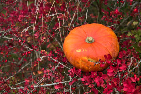 Beautiful autumnal single orange pumpkin lying on shrub of red autumn barberry berries. Autumnal background. Fall vibes. Copy space