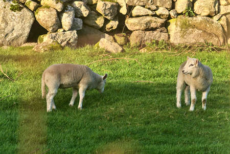 Beautiful and very cute lambs grazing on the lawn in the sunny evening along the Cruagh Road (R116), Co. Dublin, Ireland Imagens