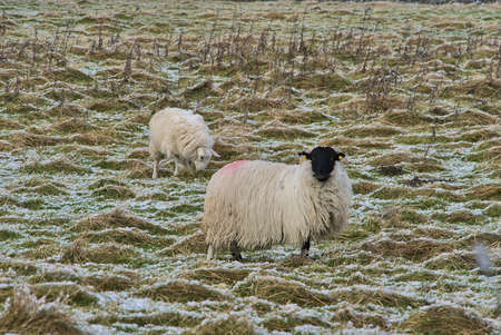 Two cute sheep grazing snowy grass along Ticknock Road, Co. Dublin, Ireland. Beautiful winter scenery. Unusual Irish winter. Sheep with black head