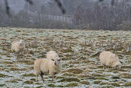 Flock of cute sheep grazing snowy grass along Ticknock Road, Co. Dublin, Ireland. Beautiful winter scenery. Unusual Irish winter Imagens