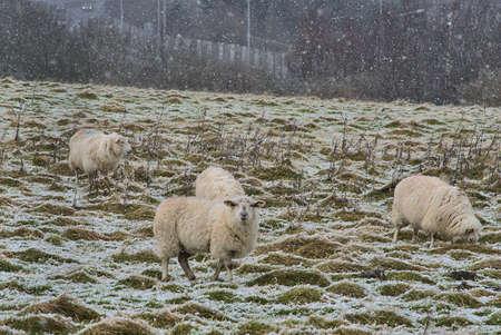 Flock of cute sheep grazing snowy grass along Ticknock Road, Co. Dublin, Ireland. Beautiful winter scenery. Unusual Irish winter