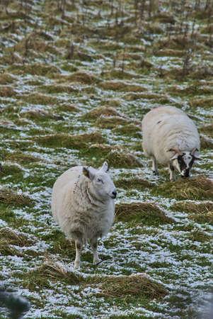 Two cute sheep grazing snowy grass along Ticknock Road, Co. Dublin, Ireland. Beautiful winter scenery. Unusual Irish winter. Vertical view