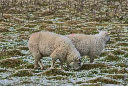 Two cute sheep grazing snowy grass along Ticknock Road, Co. Dublin, Ireland. Beautiful winter scenery. Unusual Irish winter Imagens