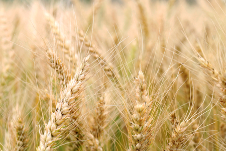 Wheat field close-up. Raking rye summer day
