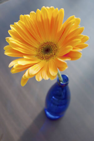 herbera: Orange herbera flower in a blue bottle still life