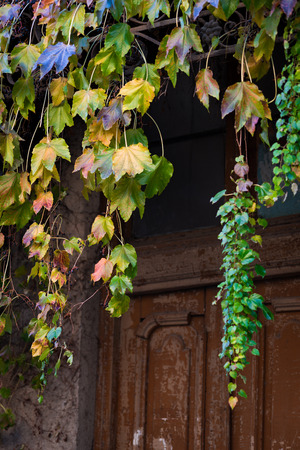 Cascades of autumn colored Ivy leaves falling down the old wooden door of the old half ruined house in Tbilisi, narrow street.