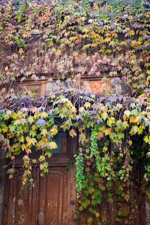 crack climb: Cascades of autumn colored Ivy leaves falling down the old wooden door of the old half ruined house in Tbilisi, narrow street. Stock Photo