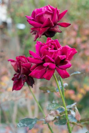 macr: Three dark red almost purple roses macr ocloseup in the garden in autumn Stock Photo
