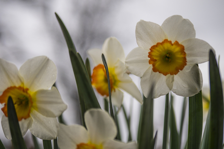white daffodils close up 写真素材