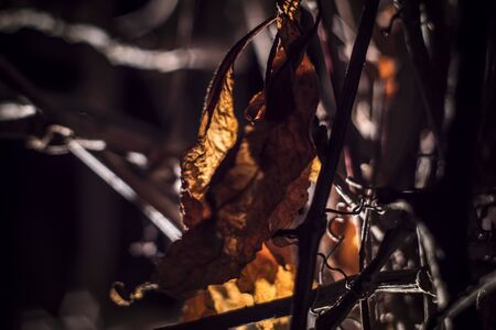 last autumn leaf tangled in liana 写真素材
