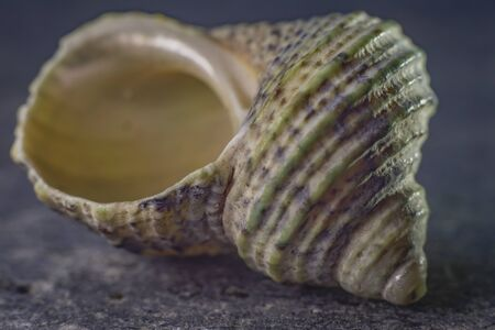 spiral shell of a sea mollusk. golden ratio 写真素材