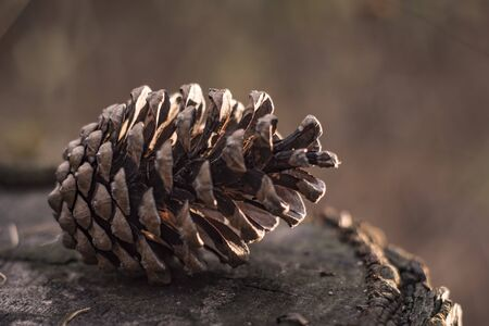 pine cone for the new year in the forest
