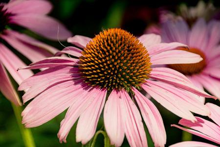 coneflower: Purple coneflower Stock Photo