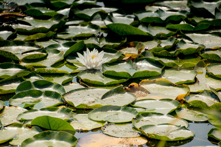 Water lily at the Old Danube, a lake of Danube Creek in Vienna, Austria
