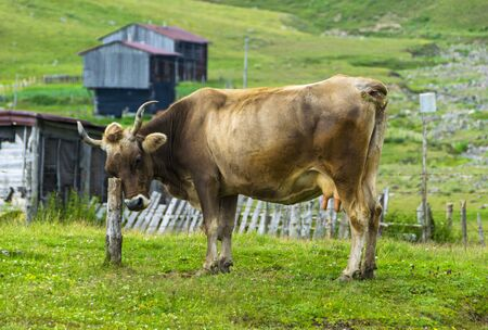 Brown cow with big Horns