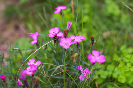 l natural: Pink Dianthus deltoides in the blurry green background