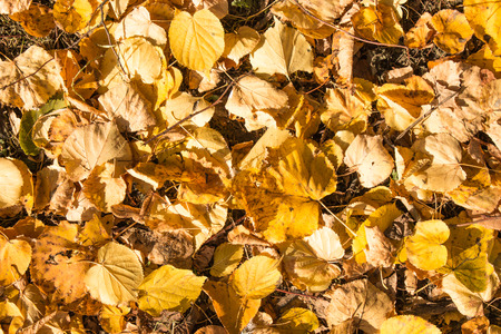 Fallen autumn yellow leaves of lime closeup
