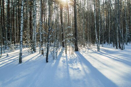 cedro: Sun light in the winter forest with white fresh snow and pine trees