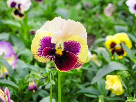 Viola tricolor red blue yellow Pansies on green flowerbed macro closeup Stock Photo