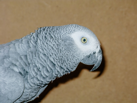 African Grey Parrot red Tails Jaco cage closeup