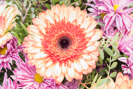 fresh pink gerbera chamomile orange flower closeup Stock Photo