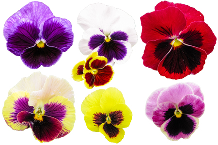 Pansies isolated on white background. Viola tricolor red blue yellow macro closeup.