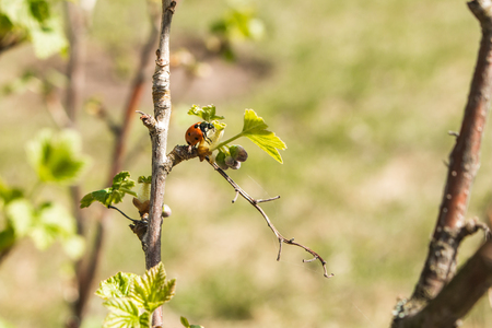 Ladybug on young leaves and currant berries in spring.