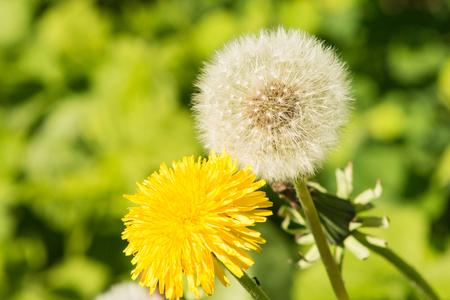 black textured background: Yellow white dandelion macro on blurred green background