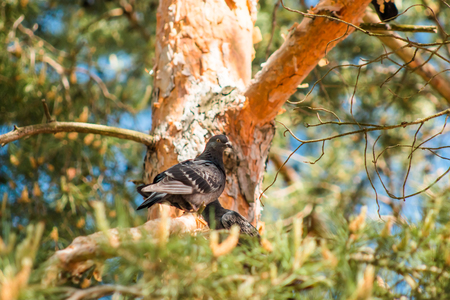 beak pigeon: Dove sitting on a pine tree on a bright sunny day