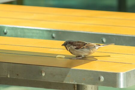 Russian Sparrow on the McDonalds street table. Stock Photo