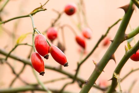 Herbst Zweig einer orange Hüften auf einem unscharfen Hintergrund eines Busch Makro Standard-Bild