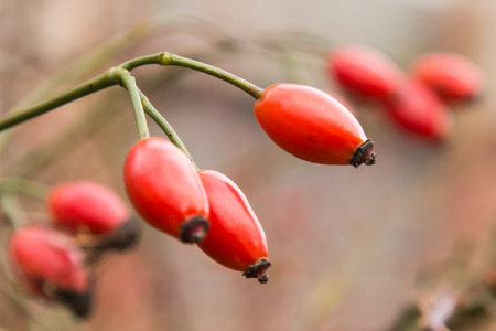 Autumn branch of an orange hips on a blurred background of a bush close macro. Stock Photo