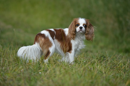 portrait of a dog for a walk, Cavalier King Charles Spaniel.