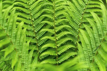 bracken: Green bracken plant background, close-up. Stock Photo