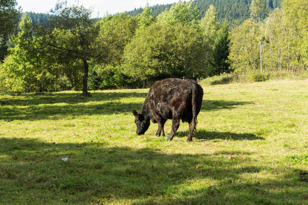 locality: Black Cow grazing on green grass on a background of bright green bushes and trees. Spring landscape of rural locality with a healthy adult cow eats grass.