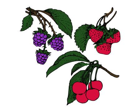 Branches of blackberries, strawberries, cherries Illustration