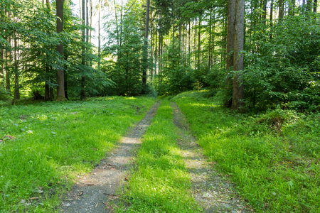 veliky: Narrow path lit by soft spring sunlight. Forest spring nature. Spring forest natural landscape with forest trees