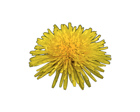Dandelion blossom with shallow focus being flooded with warm sunlight. Illustration of dandelion blossom.