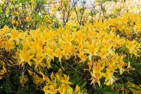 Yellow Rhododendron Luteum aka Yellow Azalea or Honeysuckle Azalea. Bush of delicate yellow and pink flowers of azalea or Rhododendron plant in a sunny spring day