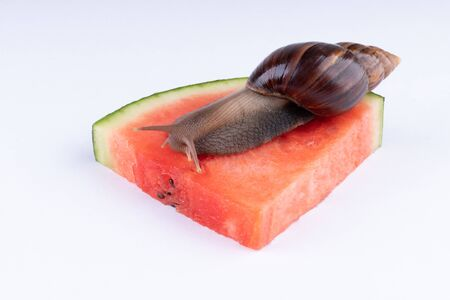 Giant African land snail eating watermelon, on a white background, macro.