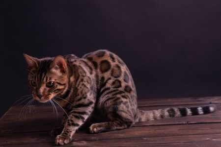 Bengal leopard cat on wooden table, black background, low key.