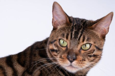 beautiful Bengal cat portrait on a white background, clouse up, copy space.