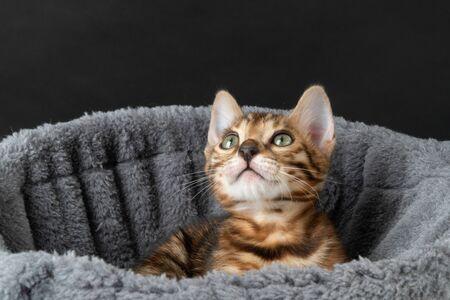 beautiful Bengal kitten in hammock
