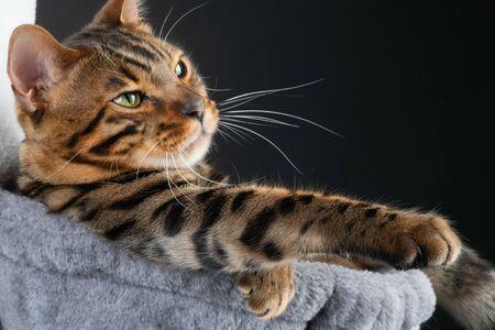beautiful Bengal cat in hammok, clouse up. Stock Photo