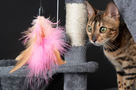 beautiful Bengal cat playing on the scratching post