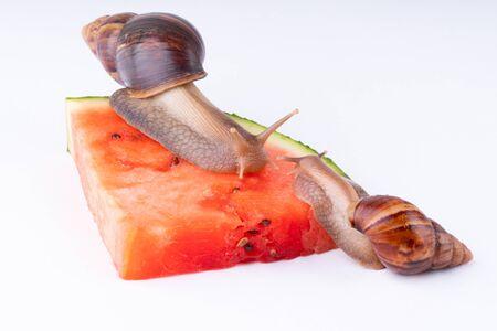 Giant African land snail Achatina fulica eating watermelon, on a white background, macro 版權商用圖片